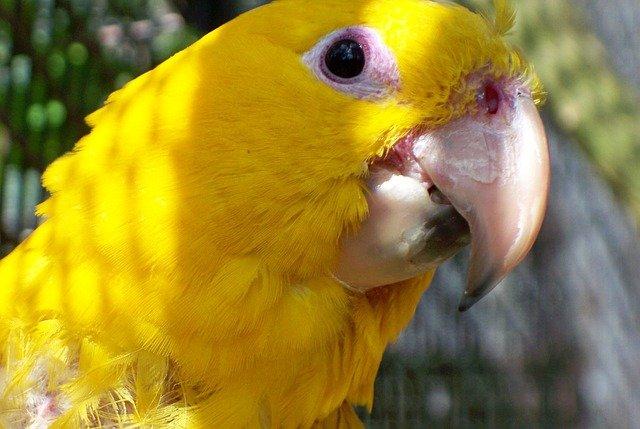 žlutý papoušek